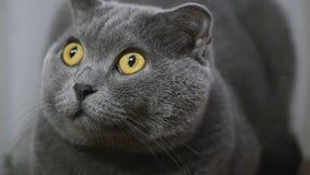 Νέα βρετανική γάτα που βρίσκεται σε μια καρέκλα και που εξετάζει τη κάμερα φιλμ μικρού μήκους