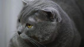 Νέα βρετανική γάτα που βρίσκεται σε μια καρέκλα και που εξετάζει τη κάμερα απόθεμα βίντεο