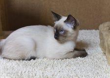 Νέα γάτα, γατάκι, ασιατική ομάδα του Σιάμ, Mekong bobtail Στοκ εικόνες με δικαίωμα ελεύθερης χρήσης