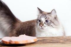 Νέα γάτα κοντά σε ένα πιάτο στοκ φωτογραφία
