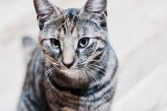 Νέα γάτα ομορφιάς Στοκ Φωτογραφία