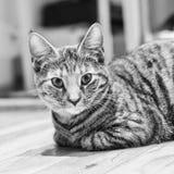 Νέα γάτα ομορφιάς Στοκ Φωτογραφίες