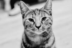 Νέα γάτα ομορφιάς Στοκ Εικόνες