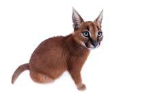 Νέα γάτα Caracal Στοκ εικόνα με δικαίωμα ελεύθερης χρήσης