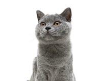 Νέα γκρίζα γάτα με τα κίτρινα μάτια σε ένα άσπρο υπόβαθρο υποβάθρου Στοκ φωτογραφίες με δικαίωμα ελεύθερης χρήσης