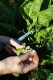 Νέα γυναίκα που συγκομίζει τα οργανικά φύλλα σαλάτας για τη σαλάτα Στοκ φωτογραφίες με δικαίωμα ελεύθερης χρήσης