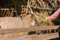 Νέα γυναίκα που ταΐζει ένα πρόβατο με το σανό σε μια ηλιόλουστη ημέρα της άνοιξη Στοκ Εικόνα