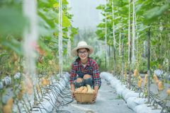 Νέα γυναίκα σε ένα θερμοκήπιο με τη συγκομιδή κολοκύνθης butternut στοκ εικόνες