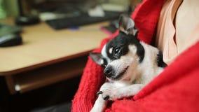 Νέα γυναίκα σε ένα κόκκινο δωμάτιο σακακιών στο σπίτι με ένα chihuahua ή ένα παιχνίδι-τεριέ ύπνου Λίγο σκυλί που χαλαρώνει ενώ δι απόθεμα βίντεο