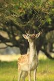 Νέα ελάφια αγραναπαύσεων buck, Dama Dama, που περπατά σε ένα σκοτεινό δάσος Στοκ Εικόνες