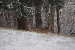 Νέα ελάφια whitetail στο χιόνι Στοκ Εικόνες