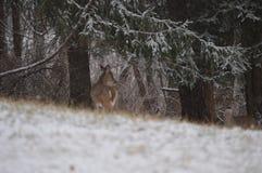 Νέα ελάφια whitetail στο χιόνι Στοκ Εικόνα