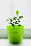 Νέα λεμόνια σε ένα πράσινο δοχείο Στοκ εικόνες με δικαίωμα ελεύθερης χρήσης