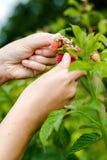 Νέα ενήλικα χέρια γυναικών που επιλέγουν τα οργανικά σμέουρα Στοκ εικόνα με δικαίωμα ελεύθερης χρήσης