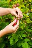 Νέα ενήλικα χέρια γυναικών που επιλέγουν τα οργανικά σμέουρα Στοκ φωτογραφία με δικαίωμα ελεύθερης χρήσης