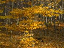 Νέα λεύκα το φθινόπωρο Στοκ Εικόνες