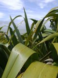Νέα Ζηλανδία: εγγενής λεπτομέρεια φυτών λιναριού Στοκ Φωτογραφίες
