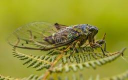 Νέα Ζηλανδία Cicade στο φύλλο με το πράσινο υπόβαθρο Στοκ Φωτογραφίες