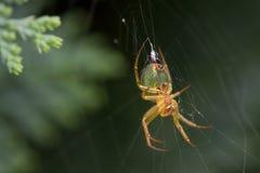 Νέα διαγώνια αράχνη Στοκ Εικόνες