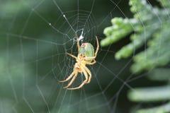 Νέα διαγώνια αράχνη Στοκ φωτογραφία με δικαίωμα ελεύθερης χρήσης