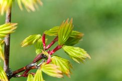 Νέα ιαπωνικά φύλλα δέντρων σφενδάμνου λεπτομερώς Στοκ εικόνα με δικαίωμα ελεύθερης χρήσης