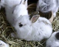 Νέα κουνέλια λαγουδάκι Στοκ Φωτογραφίες