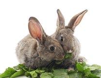 Νέα κουνέλια που τρώνε τα πράσινα στοκ εικόνες με δικαίωμα ελεύθερης χρήσης