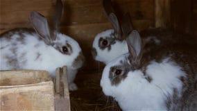 Νέα κουνέλια σε ένα ευρωπαϊκό κουνέλι hutch - cuniculus Oryctolagus απόθεμα βίντεο
