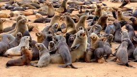 Νέα κουτάβια σφραγίδων γουνών ακρωτηρίων με τις μητέρες τους στην αποικία σφραγίδων στην παραλία στο σταυρό ακρωτηρίων στην της Ν στοκ φωτογραφίες