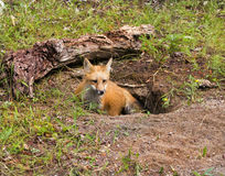 Νέα κόκκινη αλεπού στο κρησφύγετο Στοκ Εικόνα