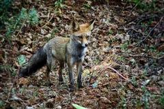 Νέα κόκκινη αλεπού της Νίκαιας στην Ισπανία στοκ εικόνες