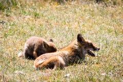 Νέα κόκκινη αλεπού με τη χαλάρωση μητέρων στη χλόη Στοκ εικόνα με δικαίωμα ελεύθερης χρήσης