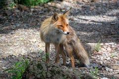 Νέα κόκκινη αλεπού Στοκ Φωτογραφίες