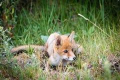 Νέα κόκκινη αλεπού Στοκ φωτογραφία με δικαίωμα ελεύθερης χρήσης