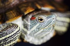Νέα κόκκινος-έχουσα νώτα χελώνα στο έδαφος στοκ φωτογραφία με δικαίωμα ελεύθερης χρήσης