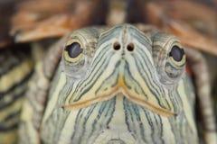 Νέα κόκκινος-έχουσα νώτα χελώνα στο έδαφος στοκ φωτογραφίες
