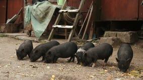 Νέα μαύρα χοιρίδια στο αγροτικό γουρούνι απόθεμα βίντεο