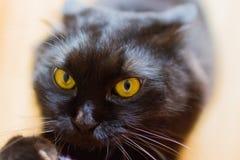 Νέα μαύρη περσική γάτα Στοκ εικόνες με δικαίωμα ελεύθερης χρήσης