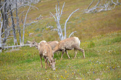Νέα μεγάλα πρόβατα κέρατων Στοκ φωτογραφία με δικαίωμα ελεύθερης χρήσης