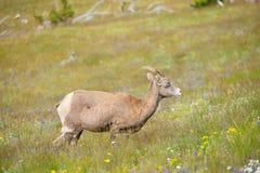 Νέα μεγάλα πρόβατα κέρατων Στοκ Φωτογραφίες