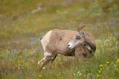 Νέα μεγάλα πρόβατα κέρατων Στοκ εικόνα με δικαίωμα ελεύθερης χρήσης