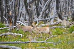 Νέα μεγάλα πρόβατα κέρατων Στοκ φωτογραφίες με δικαίωμα ελεύθερης χρήσης
