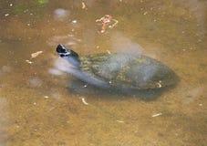 Νέα με μαλακό φλοιό χελώνα Στοκ Εικόνες
