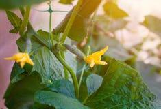 Νέα μικρή ακμάζοντας πράσινη ανάπτυξη αγγουριών στον κήπο στον κήπο υπαίθρια Στοκ φωτογραφίες με δικαίωμα ελεύθερης χρήσης
