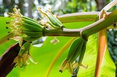 Νέα μπανάνα στη φύση Στοκ φωτογραφίες με δικαίωμα ελεύθερης χρήσης