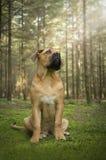 Νέα νοτιοαφρικανική συνεδρίαση σκυλιών μαστήφ σε ένα παραμύθι δασικό λ στοκ φωτογραφίες
