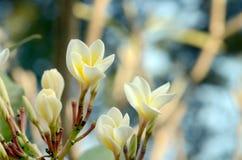 Νέα λουλούδια frangipani Στοκ Εικόνες