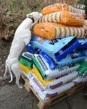Νέα παράδοση για το μικρό σκυλί Whippet Στοκ Φωτογραφίες