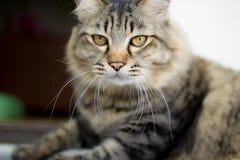 Νέα περσική γάτα Στοκ Εικόνα