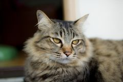 Νέα περσική γάτα Στοκ φωτογραφία με δικαίωμα ελεύθερης χρήσης